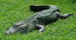 File:Alligator .png