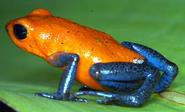 Dart Frog