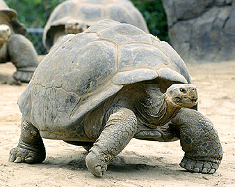 File:Tortoise .png