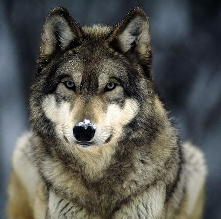 File:Gray Wolf.png