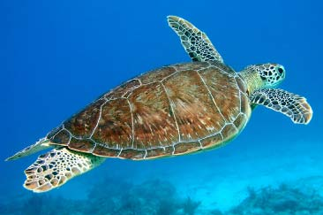 File:Sea Turtle.png