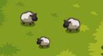 Scn2 Sheep