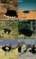 File:Ostriches by loveall231-da8esdq.jpg
