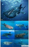 File:Whale shark by loveall231-da8er25.jpg