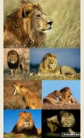 File:Lions by loveall231-da8eqi9.jpg