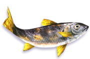 Speckled Trout (Sen III)