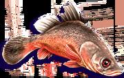 Red Perch (Sen III)