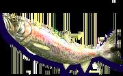 Rainbow Trout (Sen III)