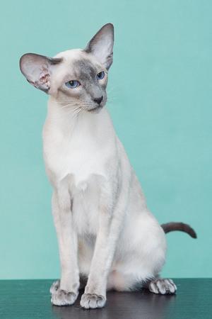 Siamilainen Kissa