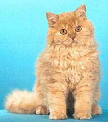 Selkirk Rex-Cat 2