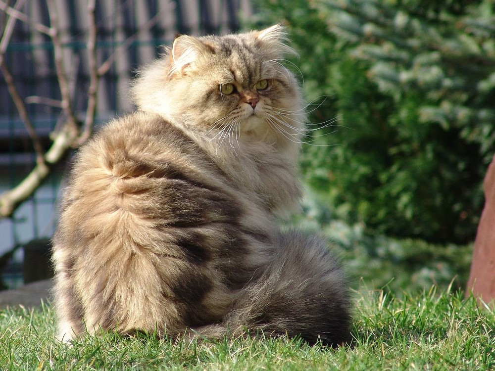 britisch langhaar kitty wiki fandom powered by wikia. Black Bedroom Furniture Sets. Home Design Ideas