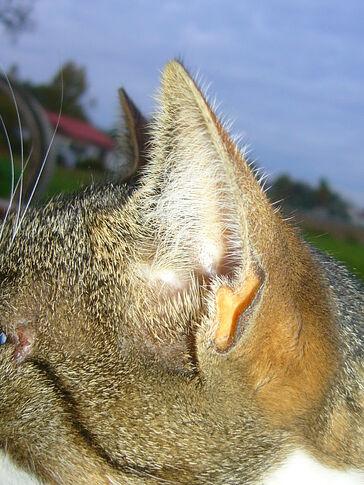 Ohren