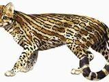 Pseudaelurus