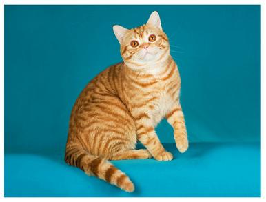 American Shorthair - Red Tabby (fur) | KittyCats ...