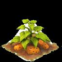 Sw sweet potato last