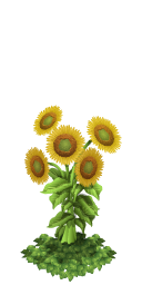 Sunflowers last