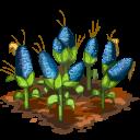 Blue corn last