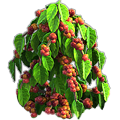 Coffee plant.png