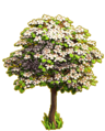 Cherry tree ph3.png
