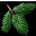 Coll leaves fir