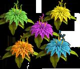 Dahlia multi