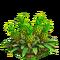 Pineapple plant ph3