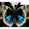 Coll butterflies blue