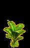 Banana tree ph1