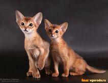 Абисинские котята