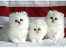 Cute persian cats 2 1
