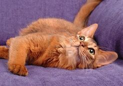 4087229-somali-cat-playing-on-the-sofa