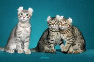 American-curl-kittens