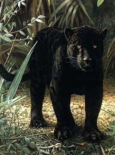 Black-panther-on-ground-standing-2