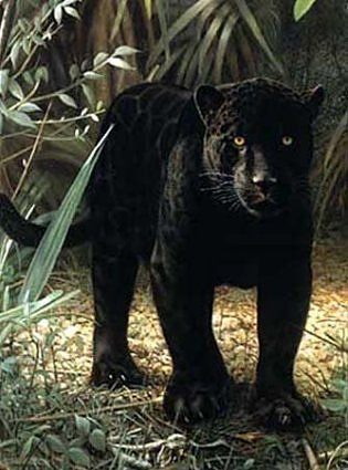 File:Black-panther-on-ground-standing-2.jpg
