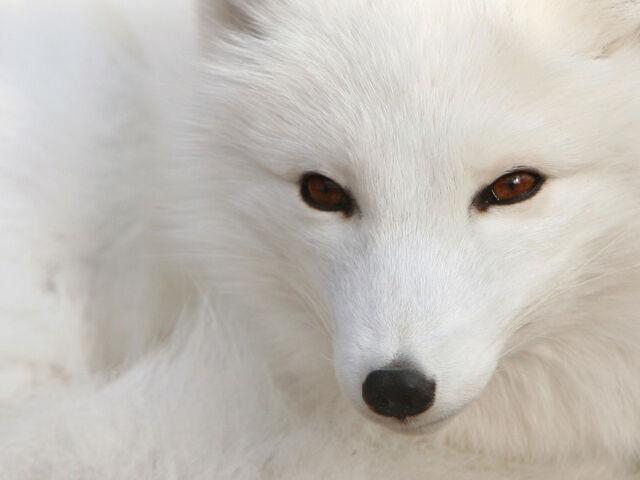 File:White Fox.jpg