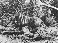 Thylacine1964