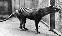 ThylacineBenjaminInfobox