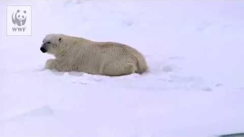La sieste de l'ours polaire..