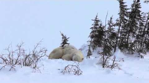 Les ours polaires et le froid..