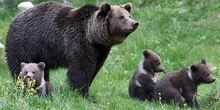 Protection-de-l-ours-dans-les-Pyrenees-l-Etat-condamne-pour-carence