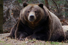 Ours-brun-grizzly-fiche-animaux-animal-fact-grizzly-bear