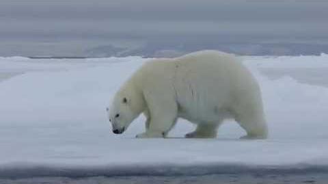 Un ours polaire marchant et se roulant dans la neige
