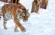 Tigre Siberiano Corea del Sur