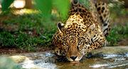 Jaguar Brasileño