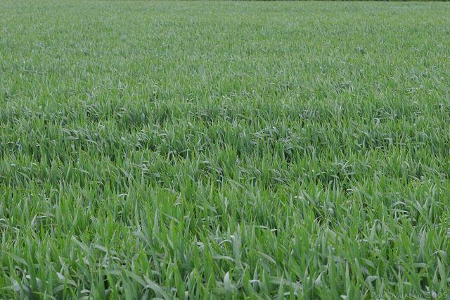 File:Grassy field in the wind.jpg