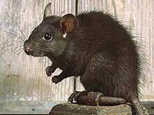 Rattus-rattus-ship-rat