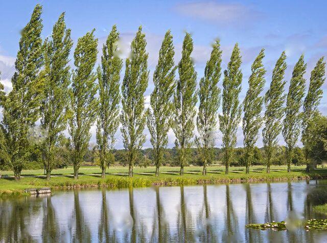 File:Row-poplar-trees-lake-foreground-62505693.jpg