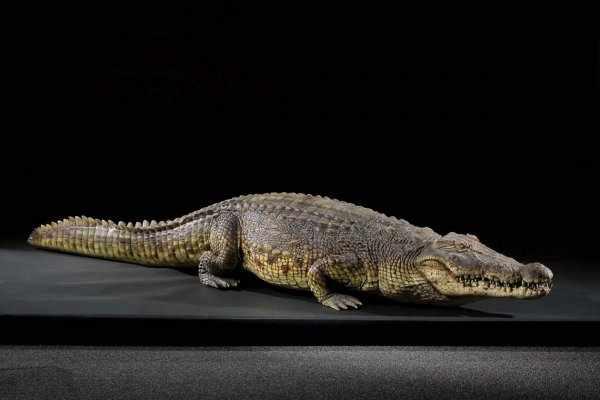 lake placid crocodile real