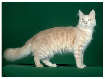 Cat turkango cream tabby lg