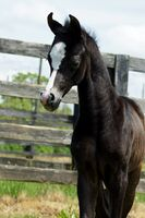 44ceabdfabf33985764c8ece043346ca--marwari-horses-arabian-horses